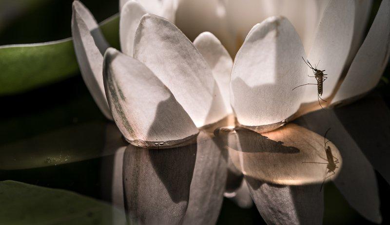 природа, макро, цветы, нимфея, лилия, насекомое, комар Комариное озероphoto preview