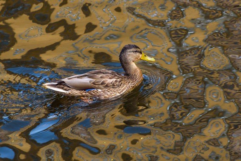 утка, птицы, животные, природа, отражения Утка в отражении нашего лета...photo preview