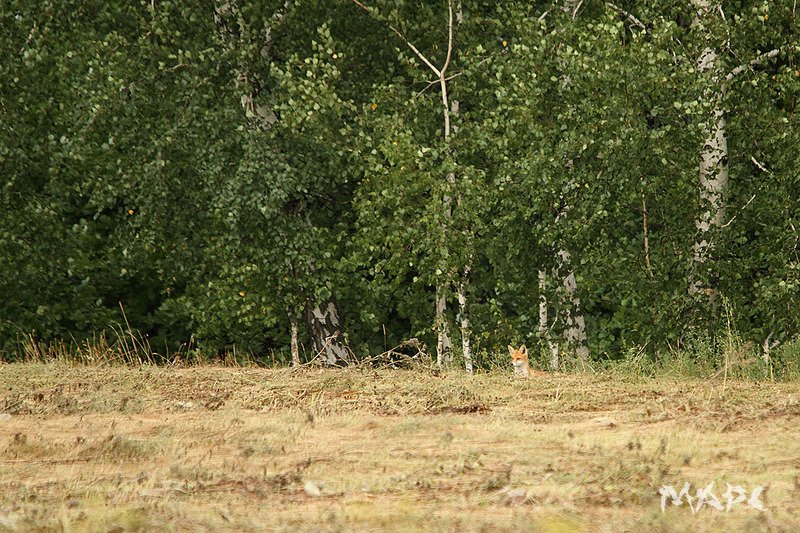 животные лисенок лето лисенокphoto preview