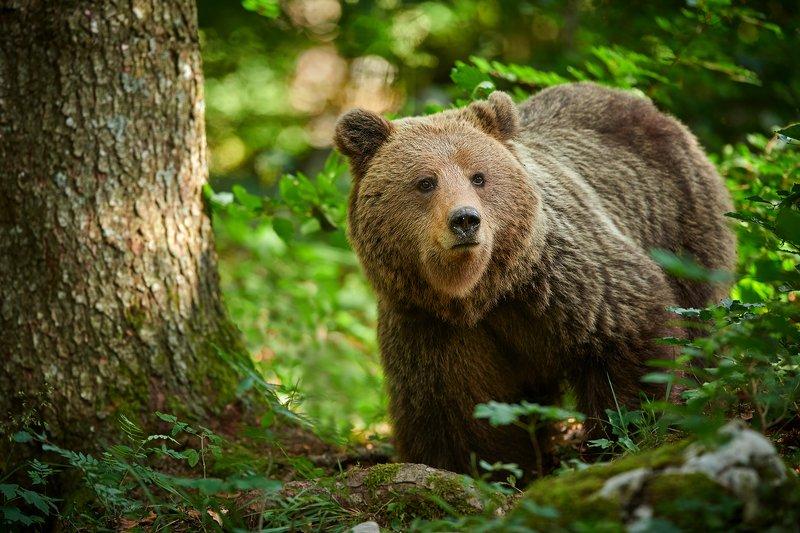 bear, animals, wildlife, brown, ursus, arctos, wild, nature, forest, Brown bearphoto preview