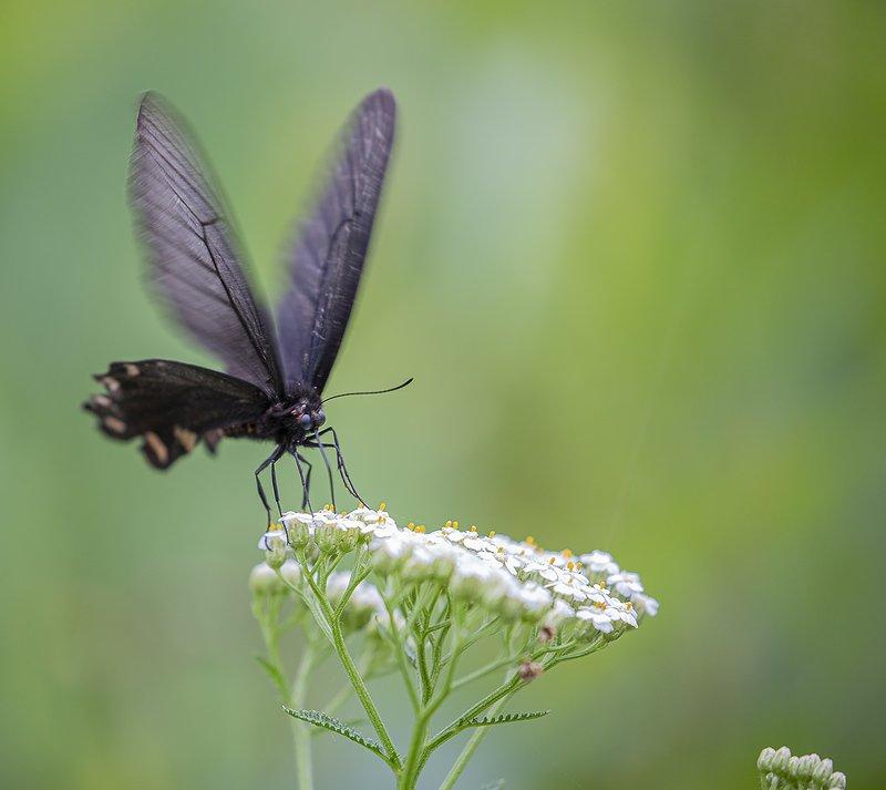 алциной бабочка В летний полденьphoto preview