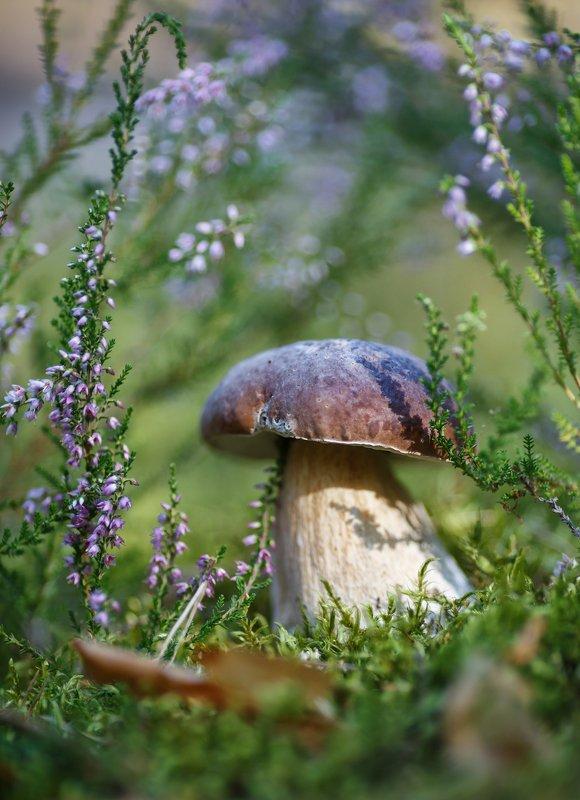 грибы, дары леса, белый гриб, царь грибов  Белыйphoto preview