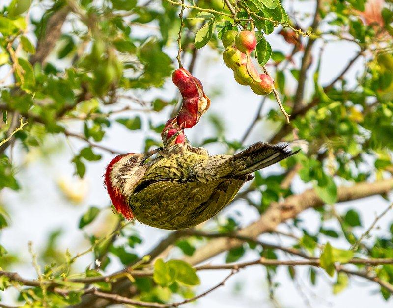 Vegetarian(Cuban green woodpecker)photo preview