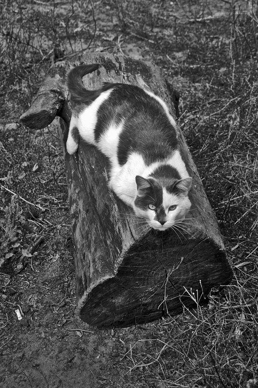 кошка, лето, взгляд, курск, апатиты, чб Я на солнышке лежуphoto preview