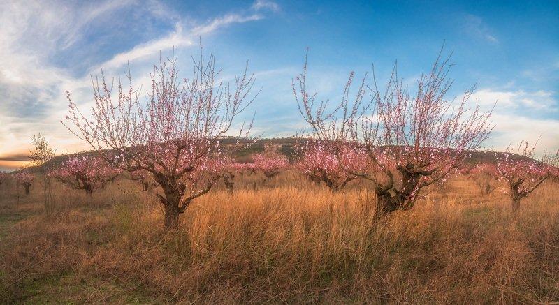 #сад, , #персики, , #весна, , #трава, , #горы, , #деревья, , #закат Весенняя нежностьphoto preview