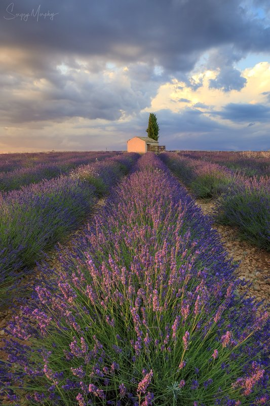 lavender fields small house provence Lavender fields & small house in Provence.photo preview