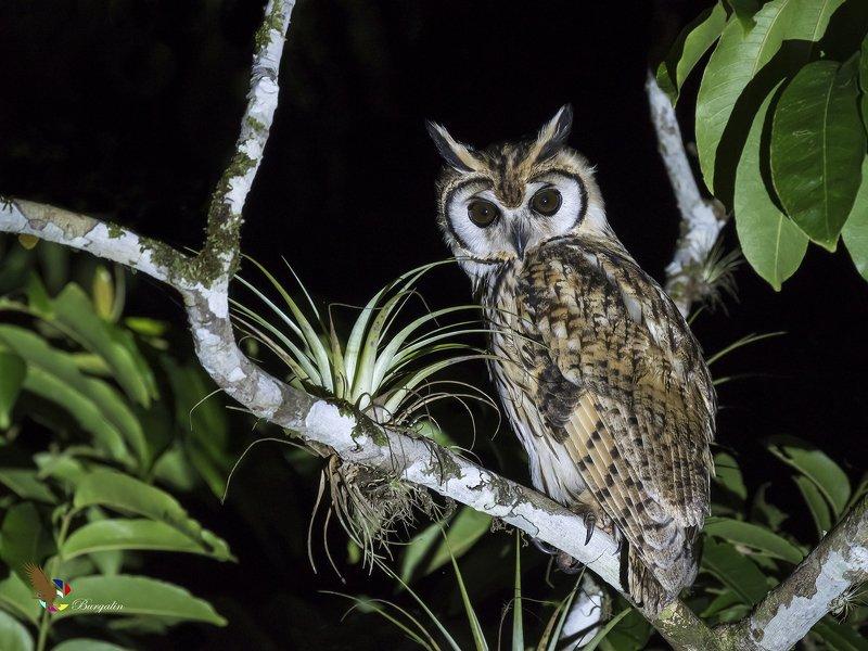 Striped Owl (Pseudoscops clamator) Búho Listado R фото превью