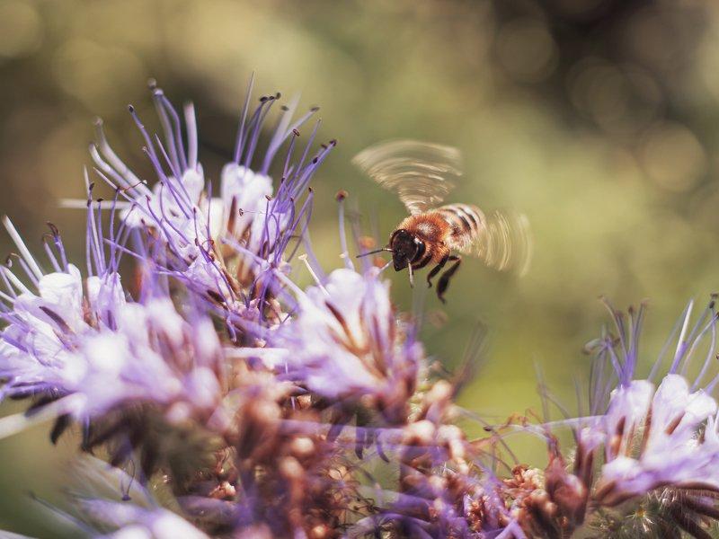 лето пчела гелиос44 макро цветы природа Бзззззphoto preview