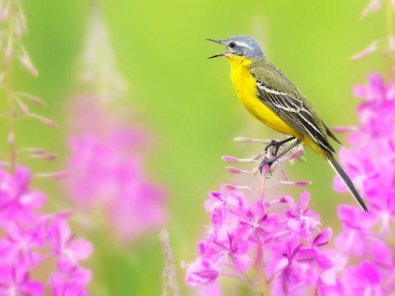 природа, фотоохота, желтая трясогузка, птицы, животные,цветы, лето Песни летнего лугаphoto preview