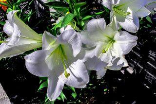 Белые лилии для посадок.