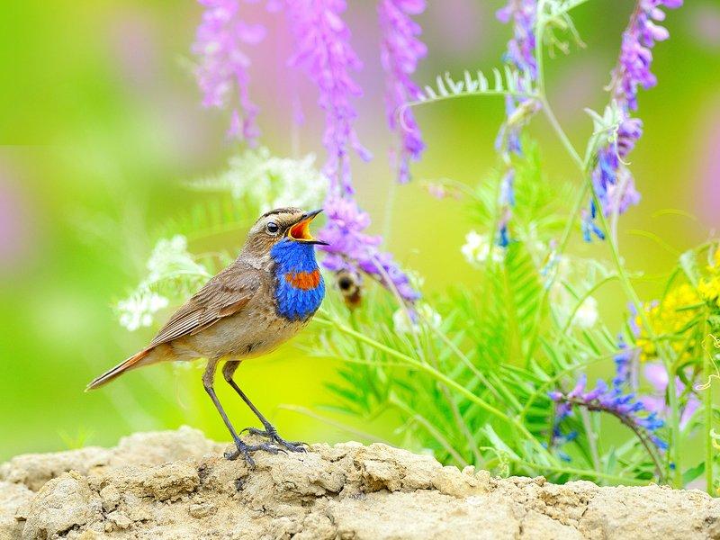 природа, фотоохота, варакушка, птицы, животные, цветы, лето Песни о летеphoto preview