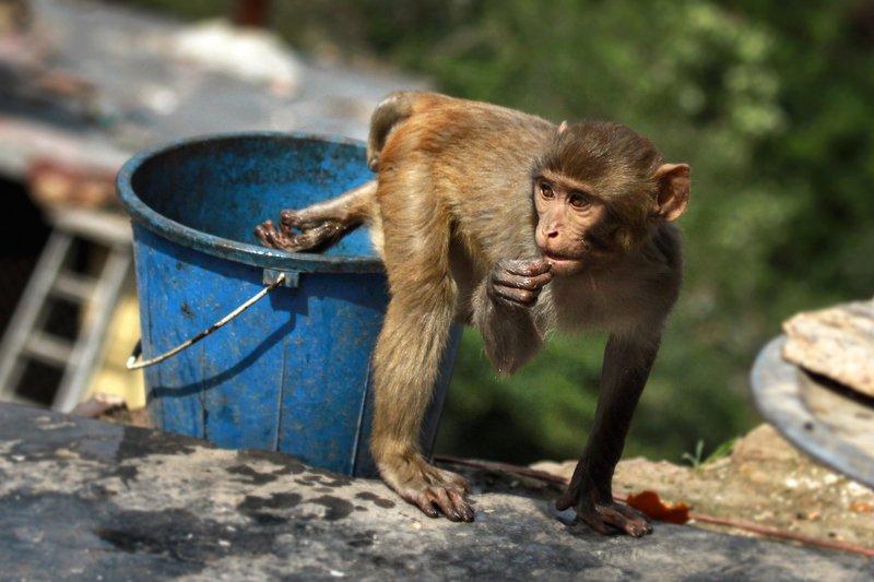 непал, обезьянки, мартышки, катманду, путешествия, животные, ведро, вода, жара Водные процедуры :)photo preview