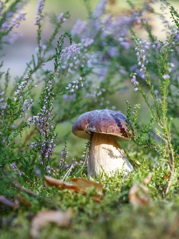 вереск, белые грибы, август, лес photo preview