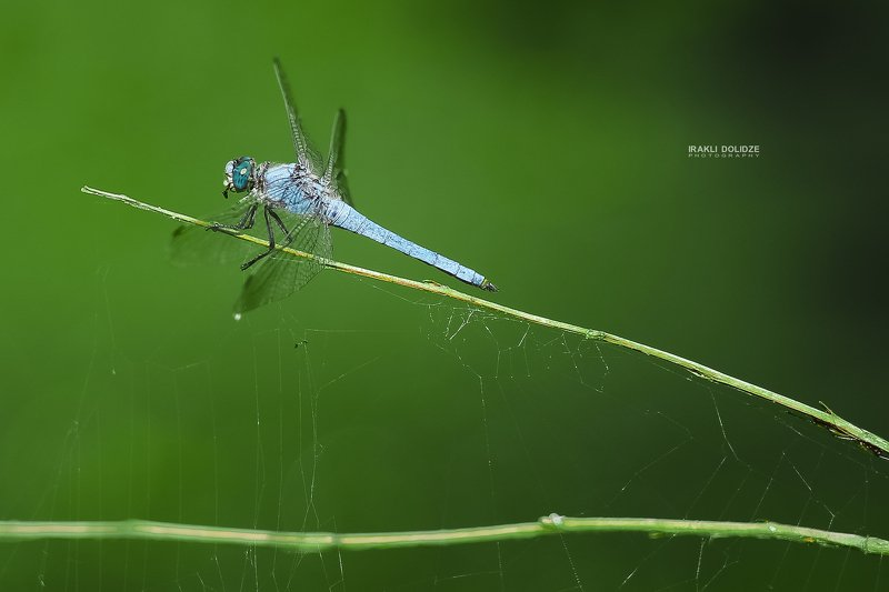 macro, dragonfly, close-up, nature, colors, green, blue, outside, photography, photo Blue dragonflyphoto preview