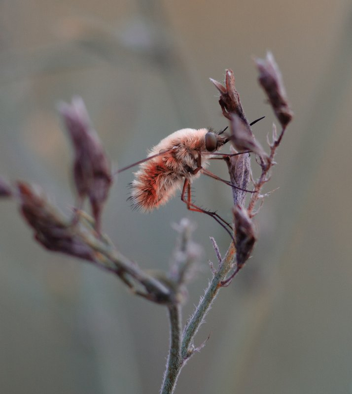 макро, природа, nature, macro, насекомые, insect Жужжало Большой, он же Bombylius majorphoto preview