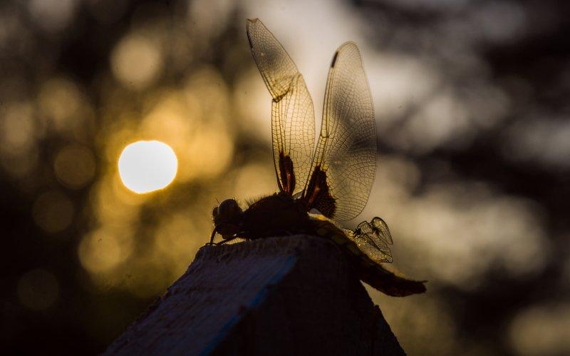 стрекоза, силуэт, ночь стреоза выходит на охотуphoto preview
