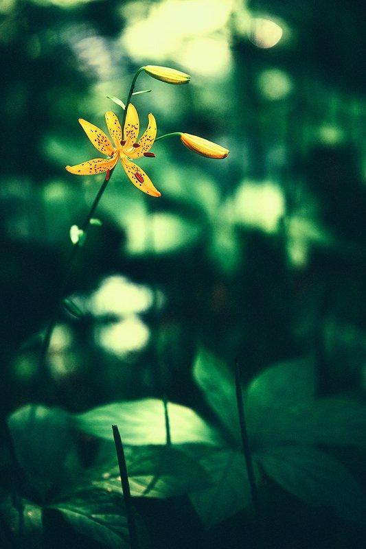 цветок, лилия В тени леса.photo preview