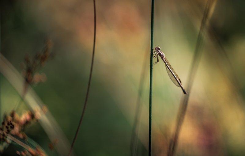 природа, макро, насекомое, стрекоза Страна Багровых Тучphoto preview