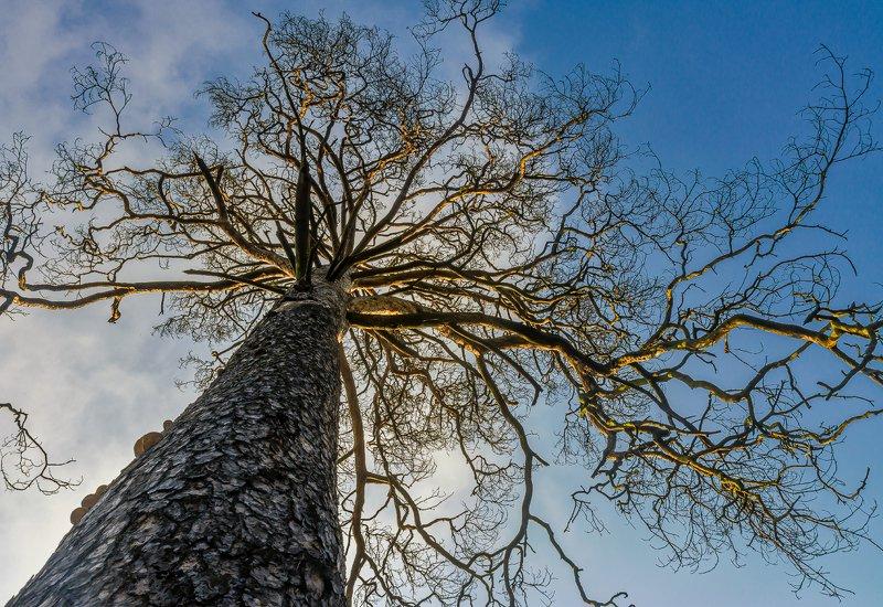 nature, природа, дерево, ствол, ветка, небо старая соснаphoto preview