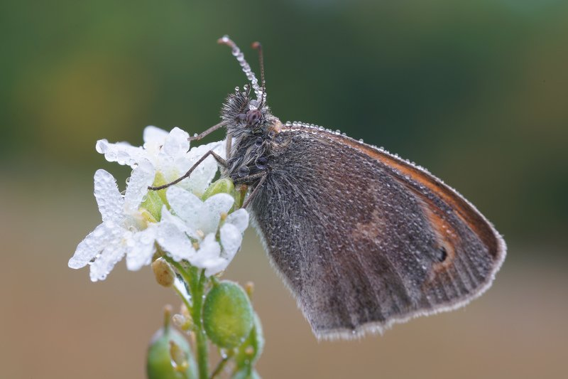 Бабочка в росеphoto preview