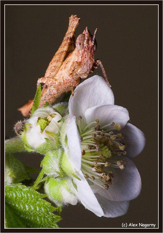 макро, фото, цветок, малина, прямокрылые, саранчовые, бестимпанальные саранчовые, erianthus, versicolor, eumastacoidea, букет для любимой, 8 марта C 8 MAPTA!!! (букет для любимой)photo preview