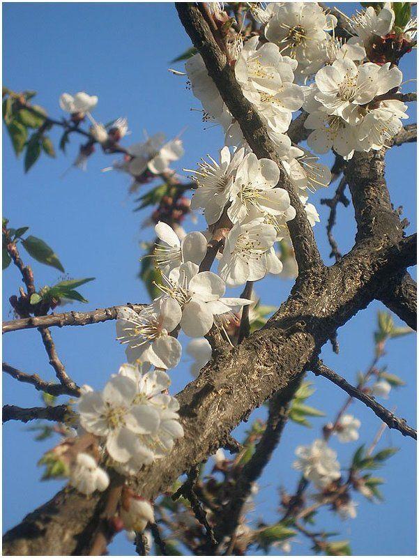 Цветение абрикосаphoto preview