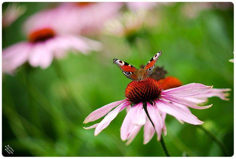кучиев, александр, бабочка, цветы, природа, лето Лето?photo preview