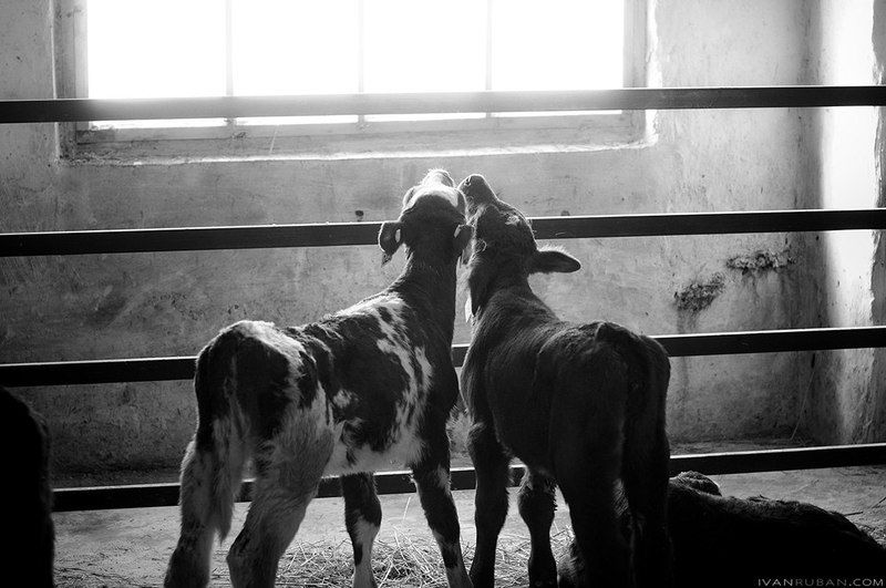 корова, коровник, скот, сельское, хозяйство Коровникphoto preview