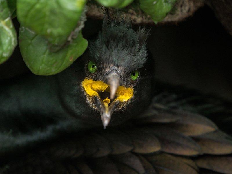 баклан, хохлатый баклан, shag, cormorant, birds, птицы, морские птицы, норвегия, анималистика, wildlife photography, norway Ведьмаphoto preview