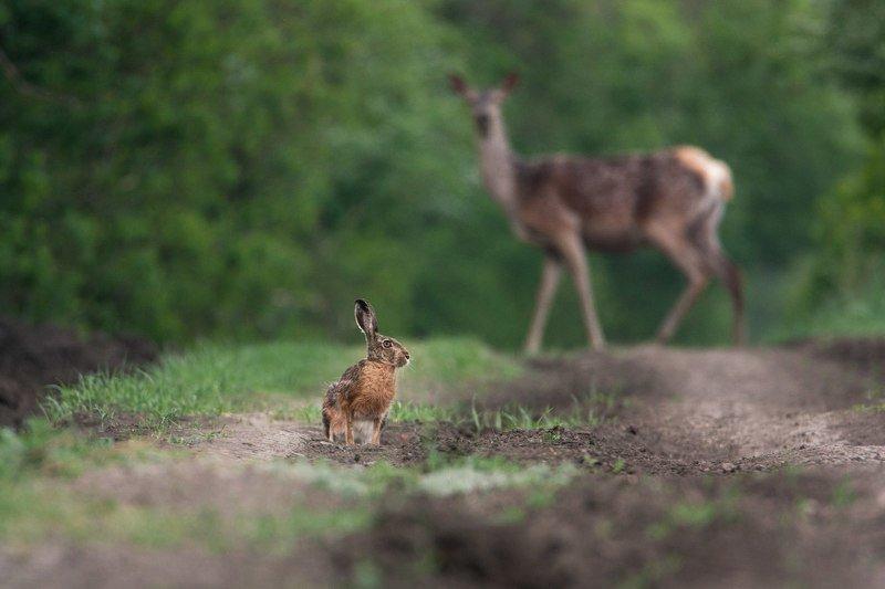 Природа, олень, заяц, лес Лесная встречаphoto preview