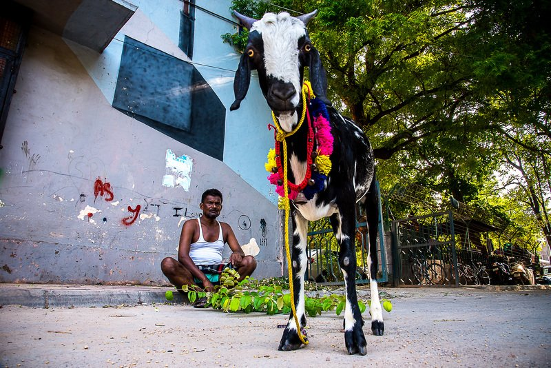 street photography goat frame city delhi  Those big brown eyesphoto preview