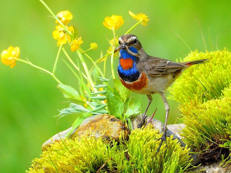 природа, фотоохота, варакушка, птицы, животные, цветы, лето Луговые птицыphoto preview