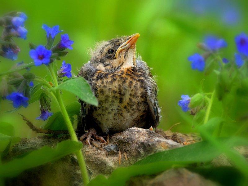 природа, фотоохота, дрозд рябинник, птицы, животные, цветы, лето Как прекрасен этот мир, посмотри…!photo preview