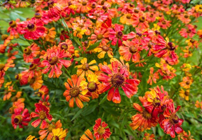 Цветки гелениумаphoto preview