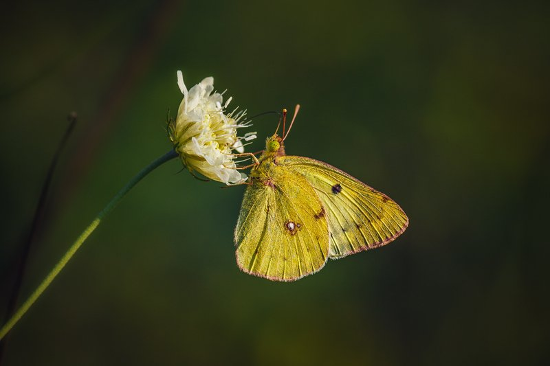 canon 55-250, moment, момент, beautiful, красивый, macro, макро, wildlife, живая, nature, природа, flower, цветок, white, белый, insect, насекомое, butterfly, бабочка, yellow, желтая, Модница в наряде цвета осени.photo preview