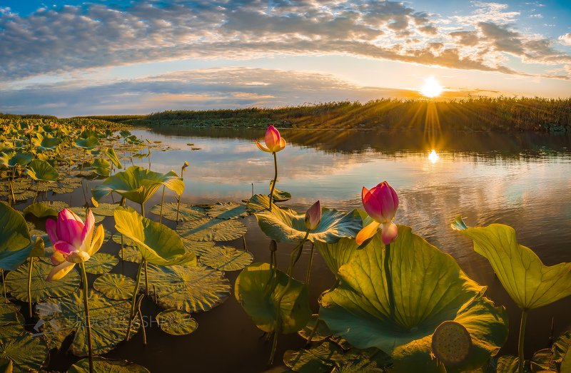 астраханская область, река, вода, волга, рассвет, лотос, лотосы, путешествие, цветок, дельта волги, солнце, лучи, небо, листья, зелёный, вода, отражение, Волшебство утраphoto preview