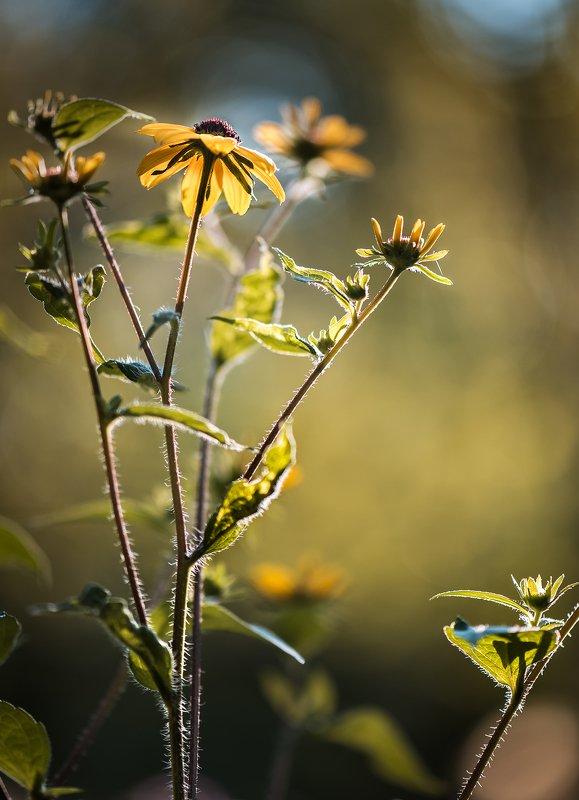 природа, макро, цветы, рудбекия, контровый свет Жара...photo preview