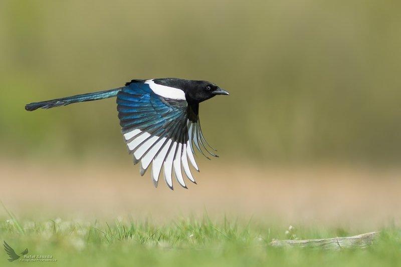 birds, animals, wildlife, colors, meadow, spring, flight, nikon, nikkor, lens, lubuskie, poland Sroka, Eurasian Magpie (Pica pica) ... фото превью