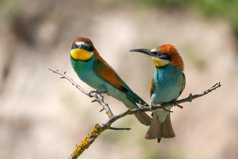 птицы, щурка, золотистая щурка, анималистика, животные, природа, дикая природа, birds, wildlife, nature, bee-eater Яркие личностиphoto preview
