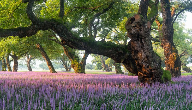 trees, summer, purple, flowers, forest, light Old trees and purple carpetsphoto preview