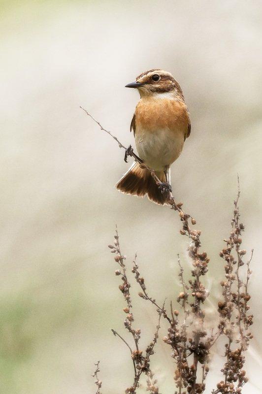чекан, птицы, животные, природа, анималистика, wildlife, nature, birds, animals, Whinchat Луговой чеканphoto preview
