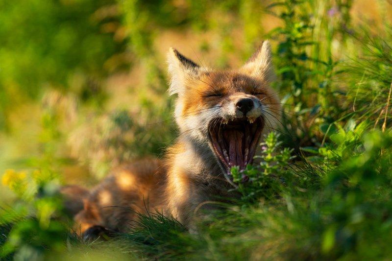 лиса, лисёнок, животные, природа, анималистика, nature, wildlife, fox, vulpes Ещё 5 минуточек...photo preview