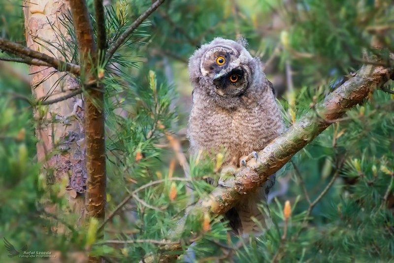 owl, birds, nature, animals, wildlife, colors, forest, wildlife, spring, nikon, nikkor, lens, lubuskie, poland Uszatka, Long-eared Owl (Asio otus) ... 2019r фото превью