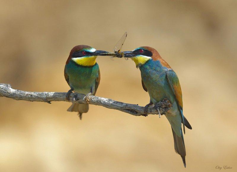 птицы, золотистая щурка К вопросу о том, что все мужики сво...photo preview