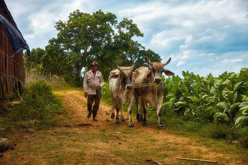 На табачной плантации