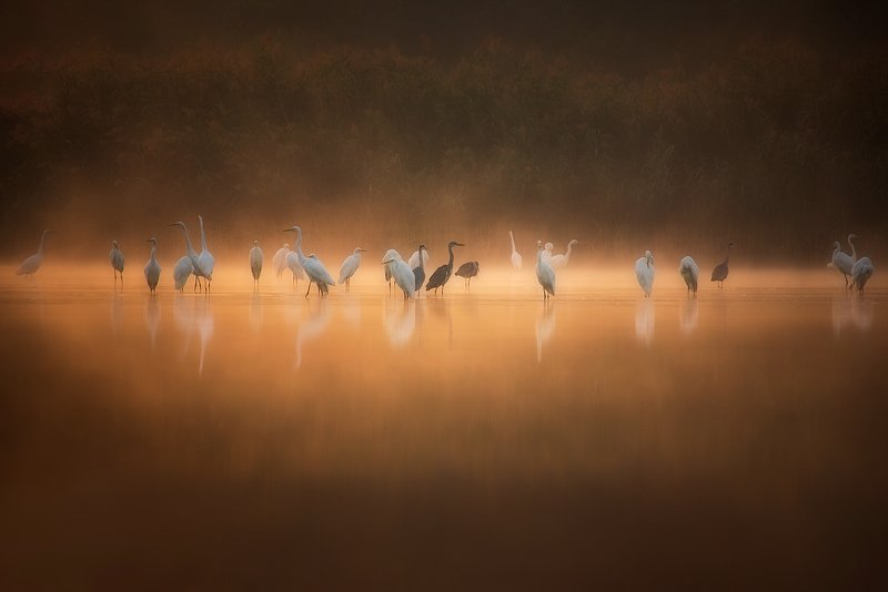 White Herons At Sunrise..photo preview