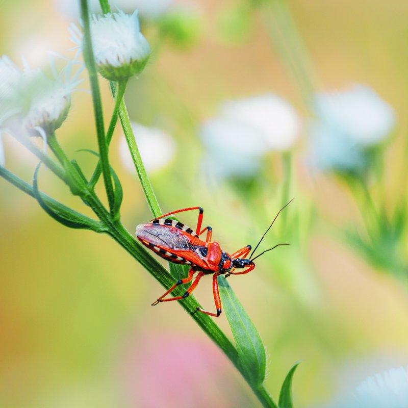 canon 55-250, beautiful, красивый, moment, момент, wildlife, живая, nature, природа, insect, насекомое, beetle, жук, reduviidae, хищнец, Жук с повадками паука.photo preview