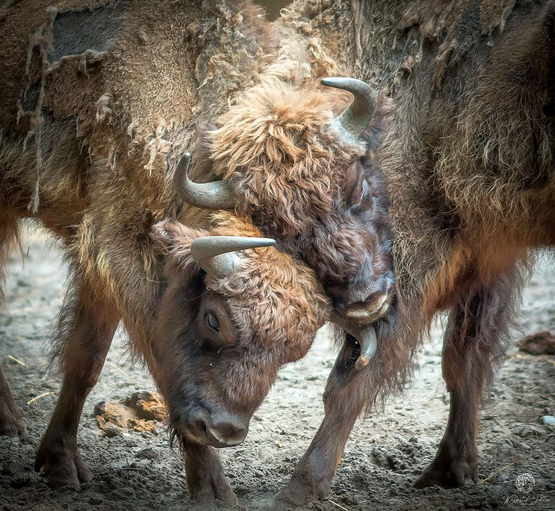 bison, fight, nature, forest, light, summer, morning, nikon,  Bison fightphoto preview