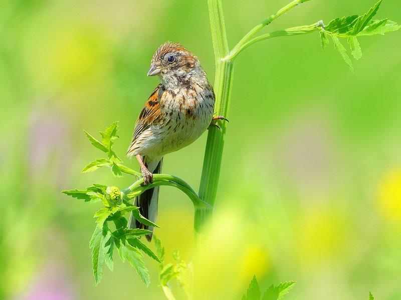 природа, фотоохота, овсянка, птицы, животные, цветы, лето Полевые птицыphoto preview