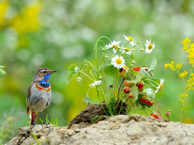 природа, фотоохота, варакушка, птицы, животные, цветы, лето Лето, ах лето...photo preview